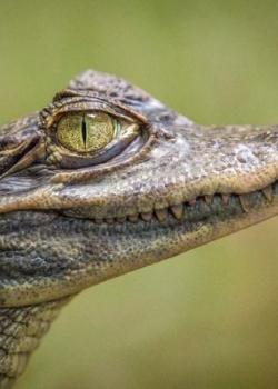 аллигатор - индикатор билла вильямса