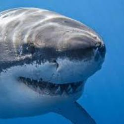 акула форекс